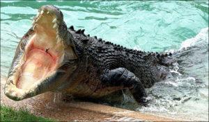 Крокодил во сне нападает, кусает