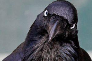 К чему снится ворона, значение сна с фото
