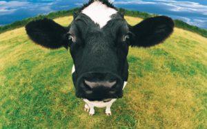 К чему снится корова, значение сна с фото