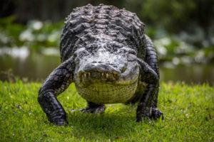 К чему снится крокодил, значение сна с фото