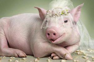 К чему снится свинья, значение сна с фото