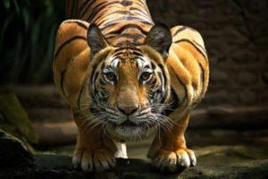 К чему снится тигр, значение сна с фото