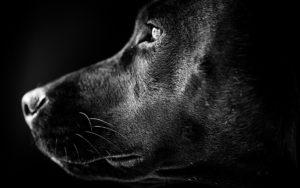 К чему снится черная собака, значение сна с фото