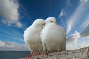 К чему снятся голуби, значение сна с фото