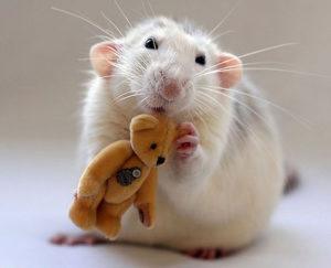 К чему снятся крысы, значение сна с фото