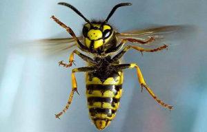 К чему снятся осы, значение сна с фото