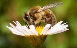К чему снятся пчелы, значение сна с фото