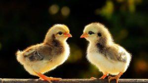 К чему снятся цыплята, значение сна с фото