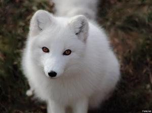 Приснилась рыжая, черная, белая лиса