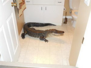 Увидеть во сне крокодила в воде, в доме