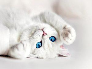 К чему снится белая кошка, значение сна с фото