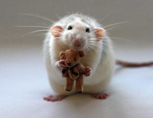 К чему снится большая крыса, значение сна с фото