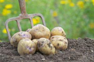 К чему снится копать картошку, значение сна с фото