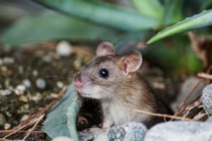 К чему снится серая мышь, значение сна с фото
