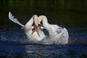 К чему снятся лебеди, значение сна с фото