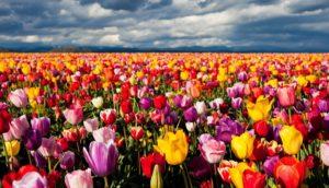 К чему снятся тюльпаны, значение сна с фото